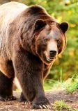 large grizzly bears are part of Alaska nature