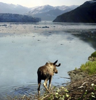 moose in water near an alaska glacier