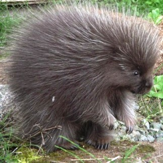 porcupines are alaska's biggest rodents