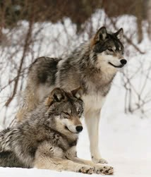 gray wolves in the alaska snow