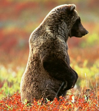 alaska is home to the grizzly bear