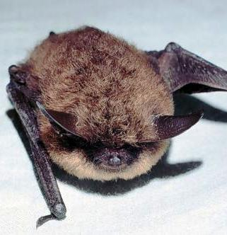 the little brown bat is alaskas most common bat