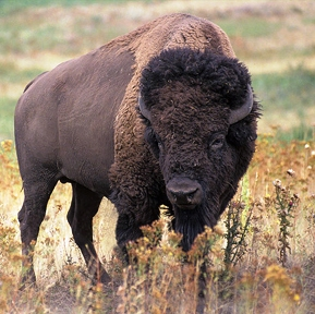 bison are north americas largest mammals