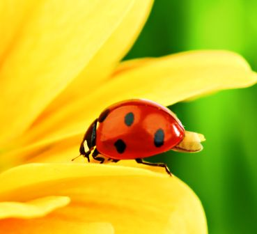 lady beetles are helpful in Alaska gardens