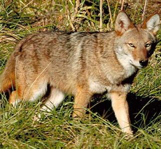 coyotes are a part of Alaska nature