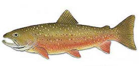 dolly varden are found in Alaska waters