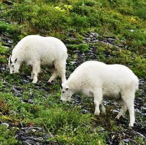 alaskan mountain goats
