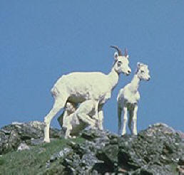 goats on a mountain top in alaska