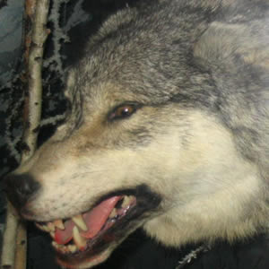 gray wolves can be dangerous to man in alaska