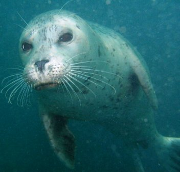 harbor seals are common off the caost of Alaska
