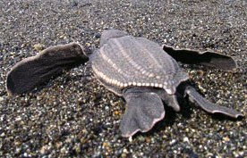 leatherback turtles are rare visitors to Alaska