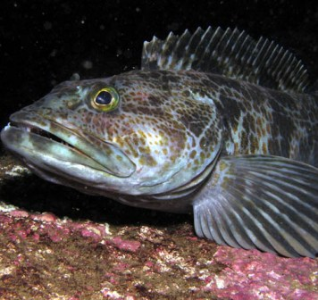 alaska lingcod fish is not a pretty fish