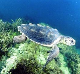 loggerhead turtles are sometimes seen off the coast of alaska