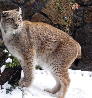 lynx walking in the snow