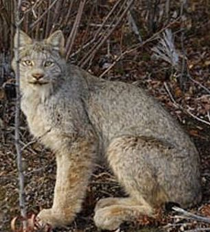 alaskan lynx cat in the woods