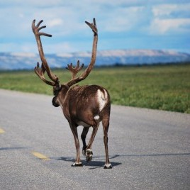 moose can be seen walking along alaska highways
