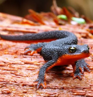 The toxins of the Roughskin Newt is particularly potent.