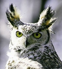 great horned owl in Alaska