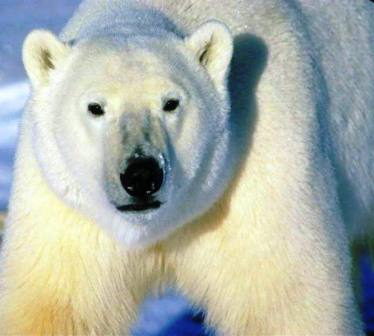 close up view of an alaskan polar bear