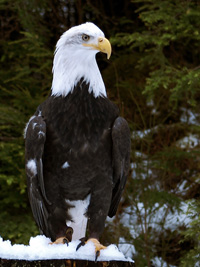 raptors like the bald eagle call alaska home
