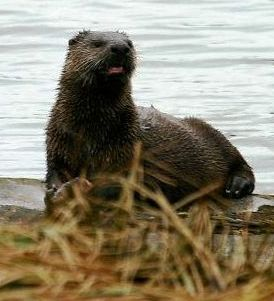 Alaska river otter on the shore