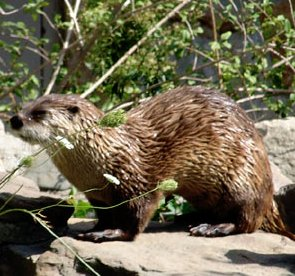 river otter are playful weasels