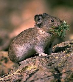 collared pika are found in Alaska