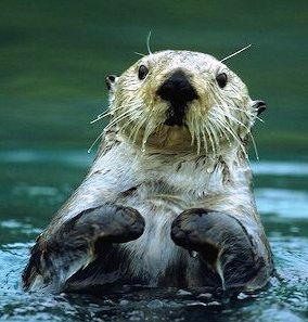 sea otters are common off the coast of Alaska