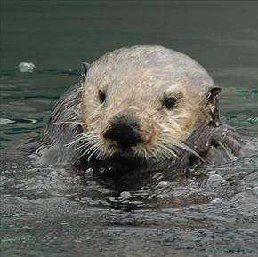sea otters have strong teeth to crush their food