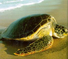 green sea turtle coming ashore to nest