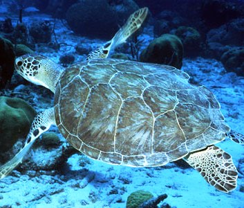 green sea turtle swimming in pacific ocean