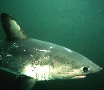salmon sharks look like their cousins the great white shark