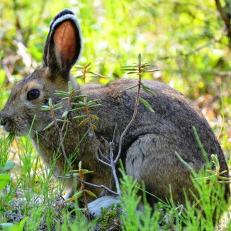 snowshoe hare in her summer coat of fur