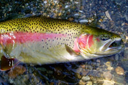 alaska is home to plenty of rainbow trout