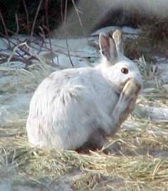 alaska tundra hare is her winter coat