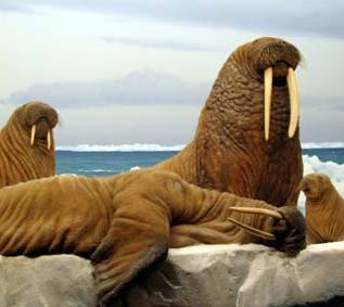 walrus relaxing off the coast of alaska