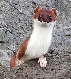 short tailed weasel in Alaska