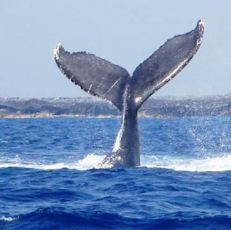 a gray whale showing off its tail